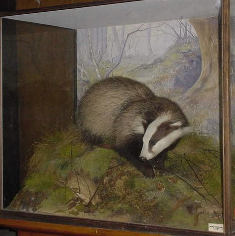 Badger 3 (Spicer) [640x480].jpg